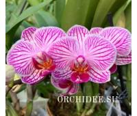Phalaenopsis PHM 176