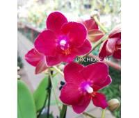 Phalaenopsis PHM 177 Lianher Happy Star