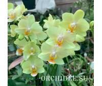 Phalaenopsis PHM 193