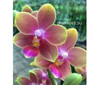 Phalaenopsis PHM 194 Multi aroma