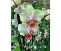 Phalaenopsis PHM 196