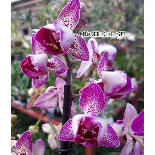 Phalaenopsis PHM 198 peloric 3 lip