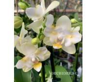 Phalaenopsis PP 013 Golden Dawn