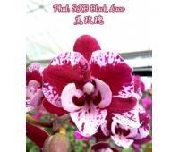 Phalaenopsis SKB Black Lace Big Lip