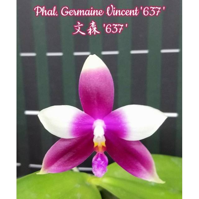 Phalaenopsis Germaine Vincent '637'