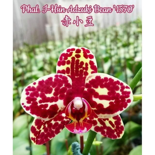 Phalaenopsis I-Hsin Adzuki Bean '1570'