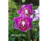 Phalaenopsis PP 011 Formosa Cranberry 'Wilson'   (butterfly peloric)