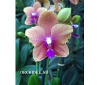 Phalaenopsis PH 036 Brother Sara Gold