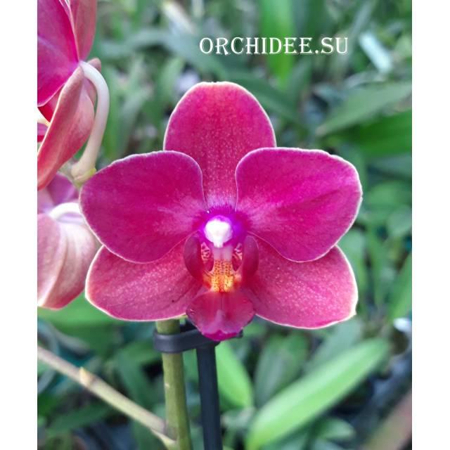 Phalaenopsis PHM 004 Cute Holly
