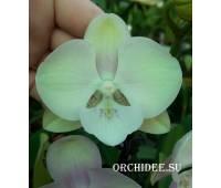 Phalaenopsis PH 307 Carnaval Big Lip