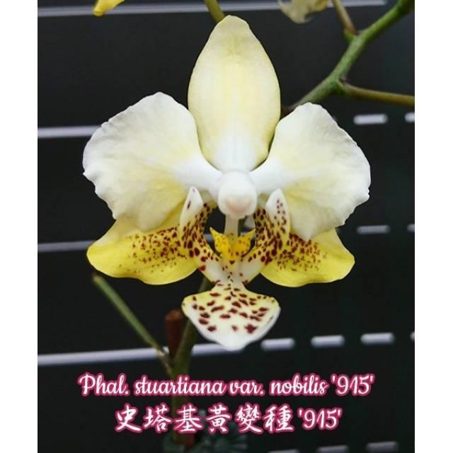 Phalaenopsis stuartiana var. nobilis '915'