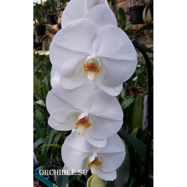 Phalaenopsis PH 314 White Big Giant Cascade