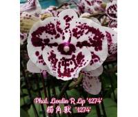 Phalaenopsis Lioulin R Lip '1274' Big Lip
