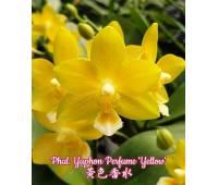 Phalaenopsis Yaphon Perfume 'Yellow'