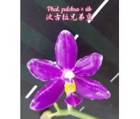 Phalaenopsis pulchra x sib
