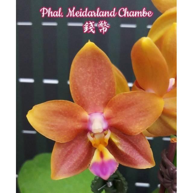 Phalaenopsis Meidarland Chambe