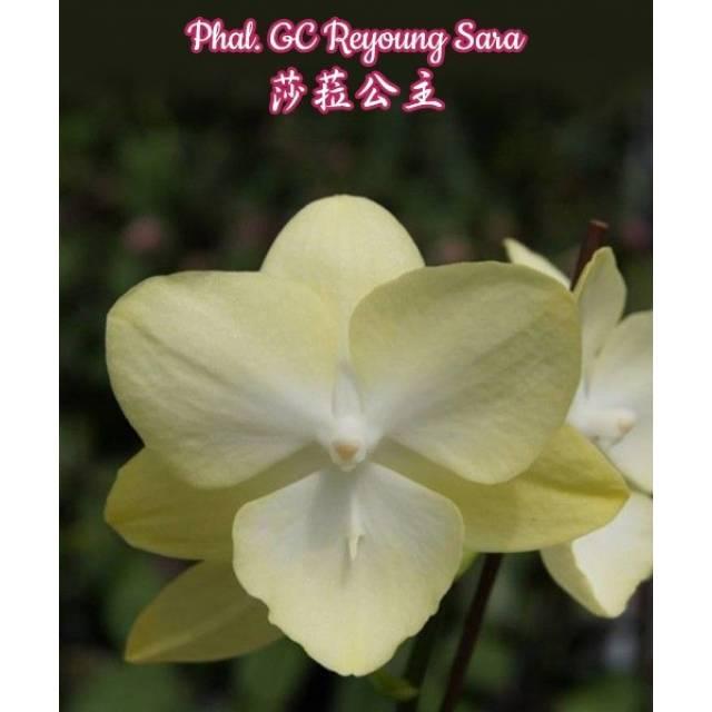 Phalaenopsis GC Reyoung Sara