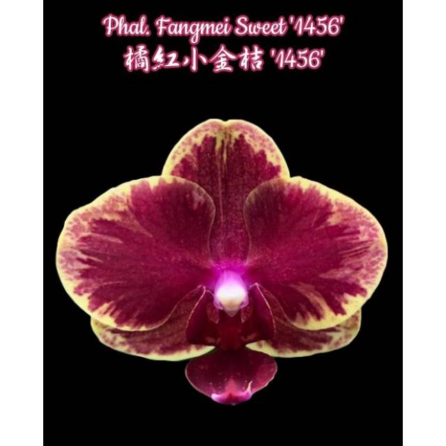 Phalaenopsis Fangmei Sweet '1456'