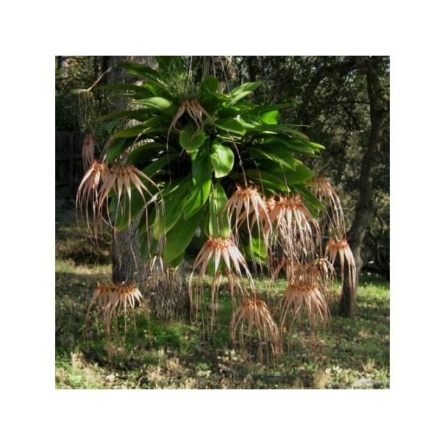 Bulbophyllum Elizabeth Ann