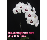 Phalaenopsis Charming Panda '1224' Big Lip