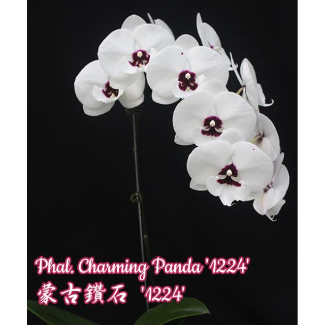 Phalaenopsis Charming Panda '1224' Big Lip
