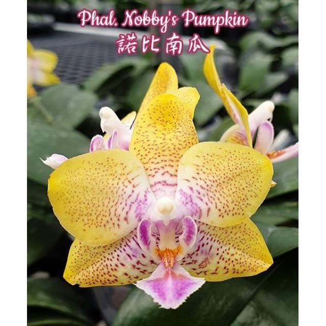 Phalaenopsis Nobby's Pumpkin
