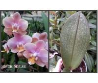 Phalaenopsis PHM 160 Odorion