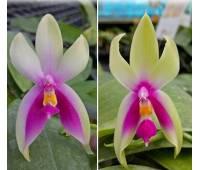 Phalaenopsis bellina 'Fire' x sib