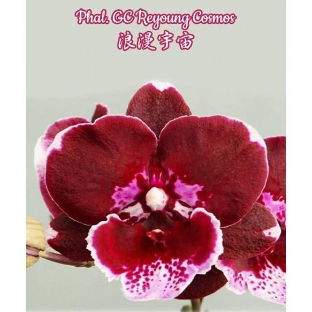 Phalaenopsis GC Reyoung Cosmos Big Lip