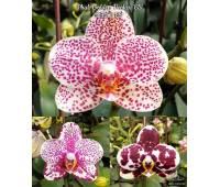 Phalaenopsis Golden Peoker 'BL'