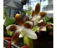 Phalaenopsis tetraspis var. coffee x sib
