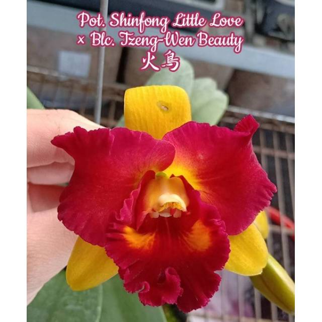 Potinara Shinfong Little Love x Blc. Tzeng-Wen Beauty