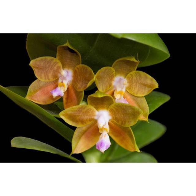 Phalaenopsis LD's Bear King 'RH-3'