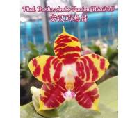 "Phalaenopsis Brother Ambo Passsion ""Hsia# 49"""