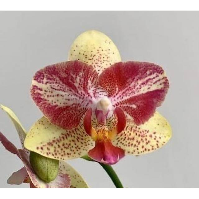 Phalaenopsis Chi-Yueh Kaleidoscope