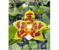 Phalaenopsis Ho's Green Marble x amboinensis