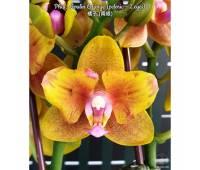 Phalaenopsis Lioulin Orange peloric - 2 eyes