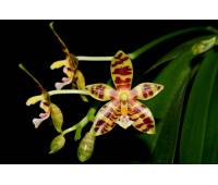 Phalaenopsis Mambo x sib