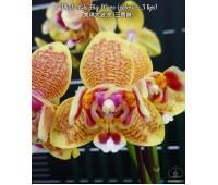 Phalaenopsis Miki Big Wave peloric 3 lip