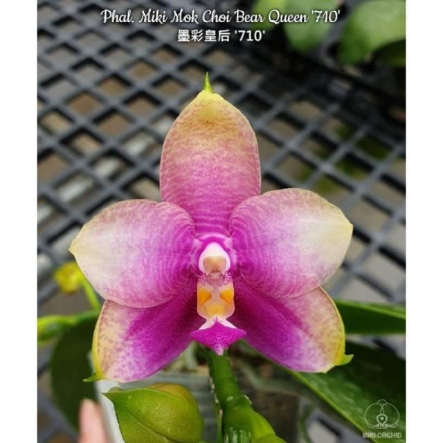 Phalaenopsis Miki Mok Choi Bear Queen '710'
