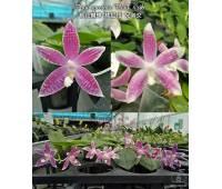 Phalaenopsis speciosa 'Plaid' x sib