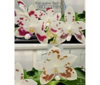 Phalaenopsis speciosa spot x sib