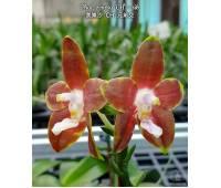 Phalaenopsis venosa 'CH'