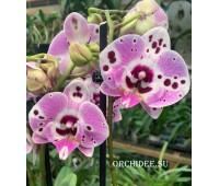 Phalaenopsis PH 326 Big Lip