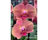 Phalaenopsis PH 325