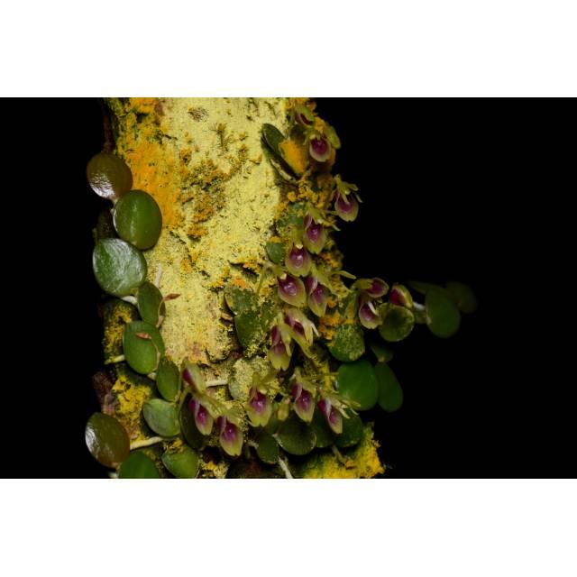 Barbosella orbicularis