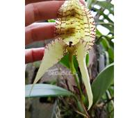 Bulbophyllum burfordense