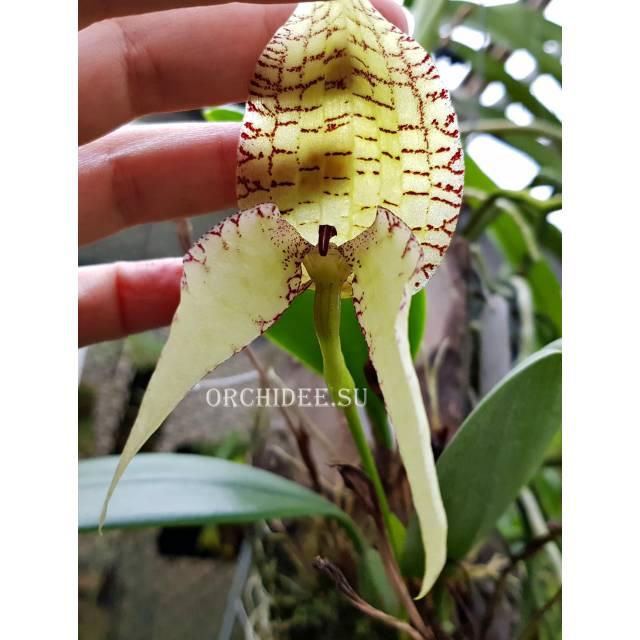 Bulbophyllum burfordense