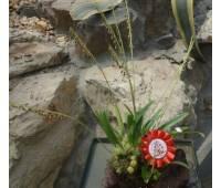 Bulbophyllum nigrescens