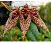 Bulbophyllum sp 01